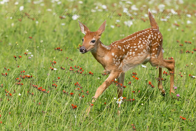 Fawn in a Meadow