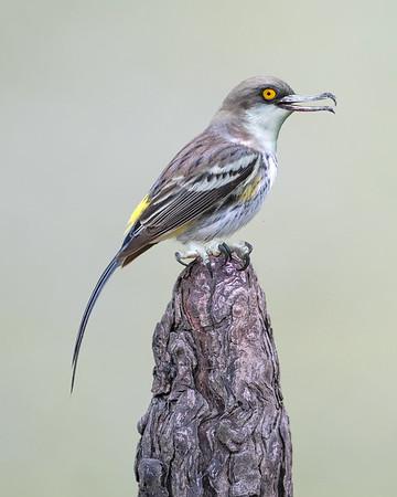 Kingfisher Vireo