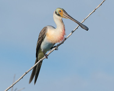 Fork-tailed Spoonbird