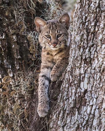 Young Bobcat