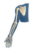 Upper Extremity Skeleton