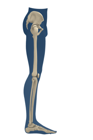 Lower Extremity Skeleton