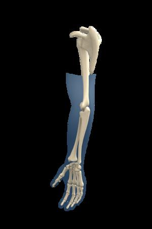 Upper Extremity Skeleton