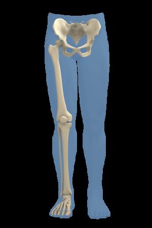 Lower Extremity Skeleton