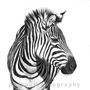 #16 Zebra Portrait