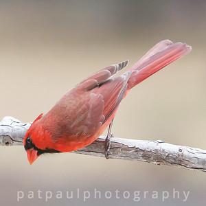 #4 Curious Cardinal