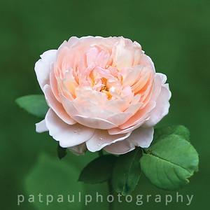 #11 Sweet Rose