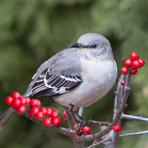 #19 Mockingbird on Winterberry