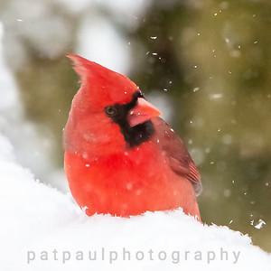 #1 Cardinal in Snow