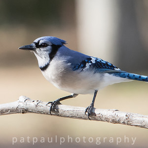 #7 Backyard Blue Jay