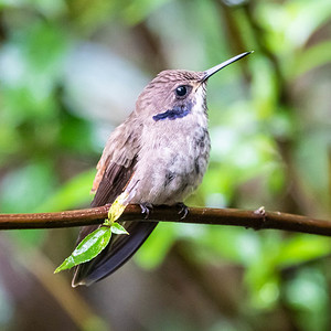 #10 Brown Violetear Hummingbird