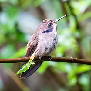 #10 Brown Violetear Hummingbird