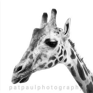 #18 Giraffe Portrait #2