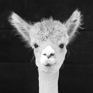 #19 Shorn Alpaca