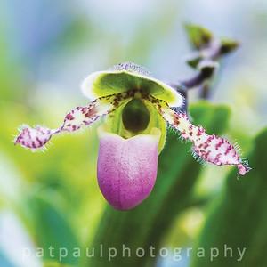 #12 Slipper Orchid (paphiopedilum)