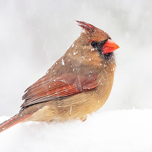 #2 Female Cardinal in Snow