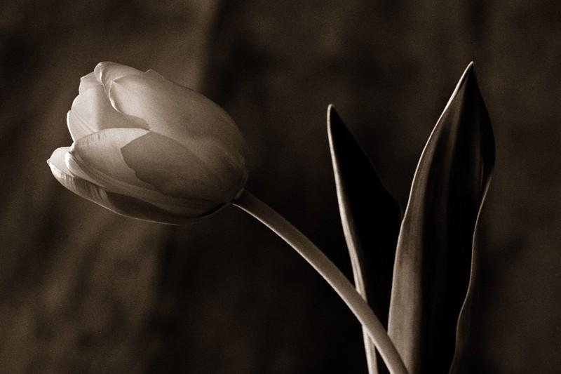 Tulip on Sepia