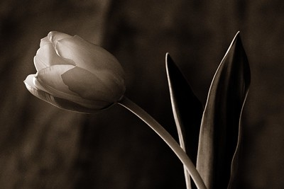 Tulip on Sepia