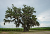 Old Oak Among the Cane Crop