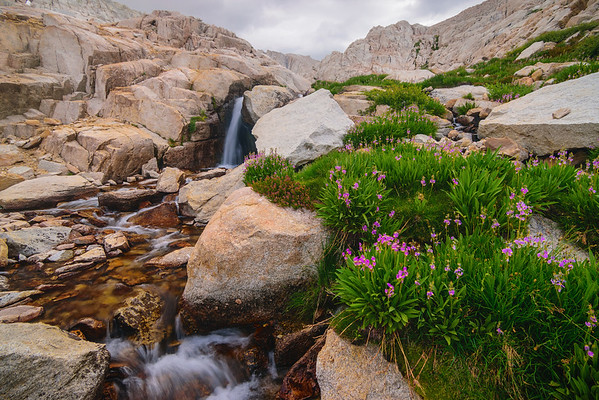 Shooting Star flowers along Mt Whitney Trail, Eastern Sierras, California