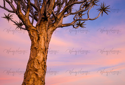 Quivertree Against Pink Sky