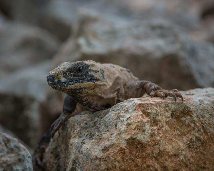 Iguana on Rock 1