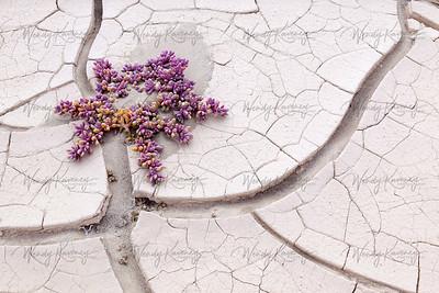 Ice Plant and Mud Cracks