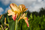 Yellow Canna Flower 1