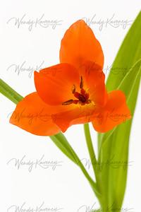 Vibrant Tulip