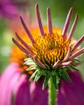 Echinacea Crown