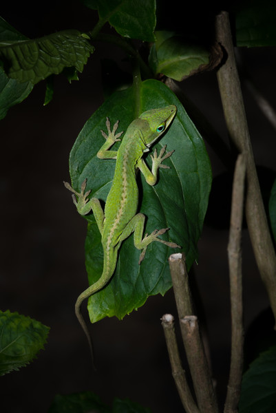 Lizard on a Leaf