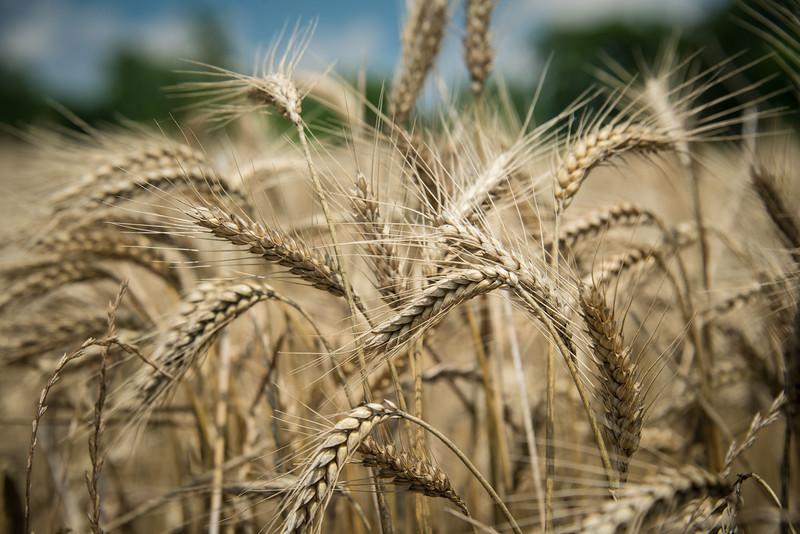 Wheat Beards