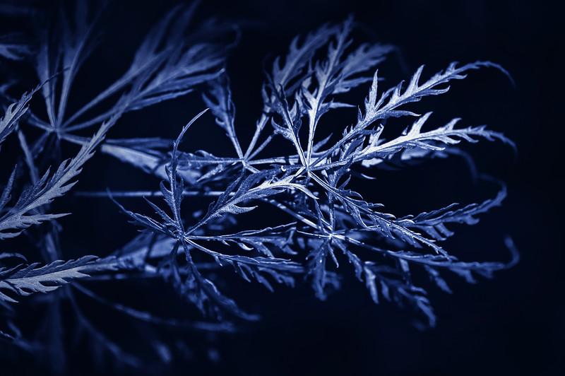 Blue Mapel