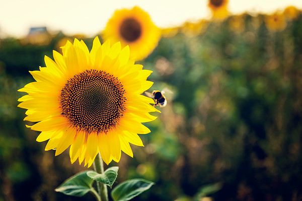 Bumblebee and a  Sunflower