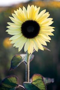 Light yellow Sunflower.