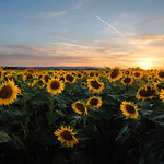 Sunflowers as far as the eye can see. Anguillara Sabazia, Rome, Italy.