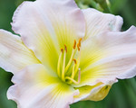 Daylily Closeup in Color