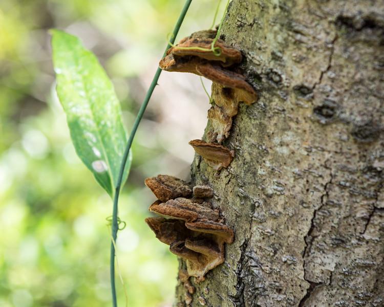 Bark Mushrooms and Vine