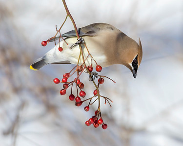 Cedar Waxwing on Rosehips