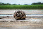 Dirty Snail Shell