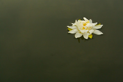A lone water lily on Lake Aeroflex. Kittatinny Valley State Park, Andover Township, New Jersey. 2011.