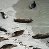 Point Lobos Seals