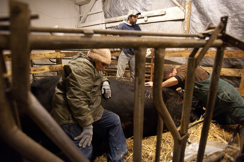Barb Rossman, foreground, and her son J.R., at back, stand by, unable to do much to help an ailing cow as it is tended to on Jan. 29, 2011, by a large animal veterinarian, who declined to be identified.