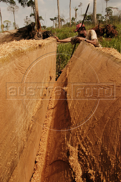 """A worker pries apart a Brazil-nut tree on federal land known as """"terra do meio,"""" or """"the land in between,"""" referring to its location between two major rivers, in Brazil's Amazonian state of Para, Oct. 2, 2004. The Amazonian problems of deforestation, wood trafficking, habitat destruction, slave labor, land grabbing, and violence are all intertwined as colonization of the region accelerates. Many who come to carve an existence from the forest believe that the Amazon exists to be exploited and point to the USA and Europe as examples. In many ways the federal government promotes this situation with rural projects, highway construction and agrarian reform, while at the same time that it tries to stop it through the environmental agency IBAMA or the Federal Police.(Australfoto/Douglas Engle)"""