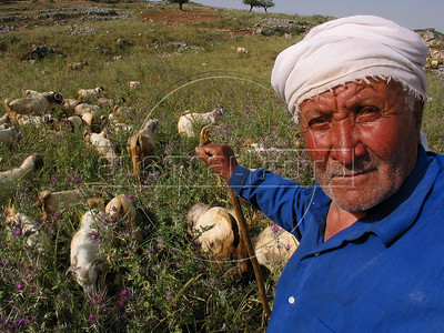 A shepherd tends to sheep a field near Bent Jbail in Southern Lebanon, a region occupied by Israeli forces until 2000. The Hezbollah is credited with forcing its withdrawl.(Australfoto/Douglas Engle)