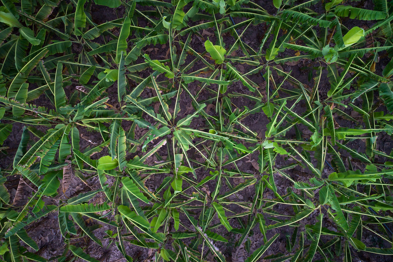 Plantain trees seen from above on a small farm.