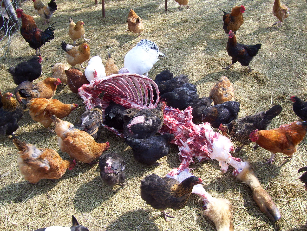 """18-- The Chickens say, """"This is Delicious"""".<br /> It sure is. He just keeps on feeding the chickens. They waste no time getting elbow to elbow around the table to get some."""