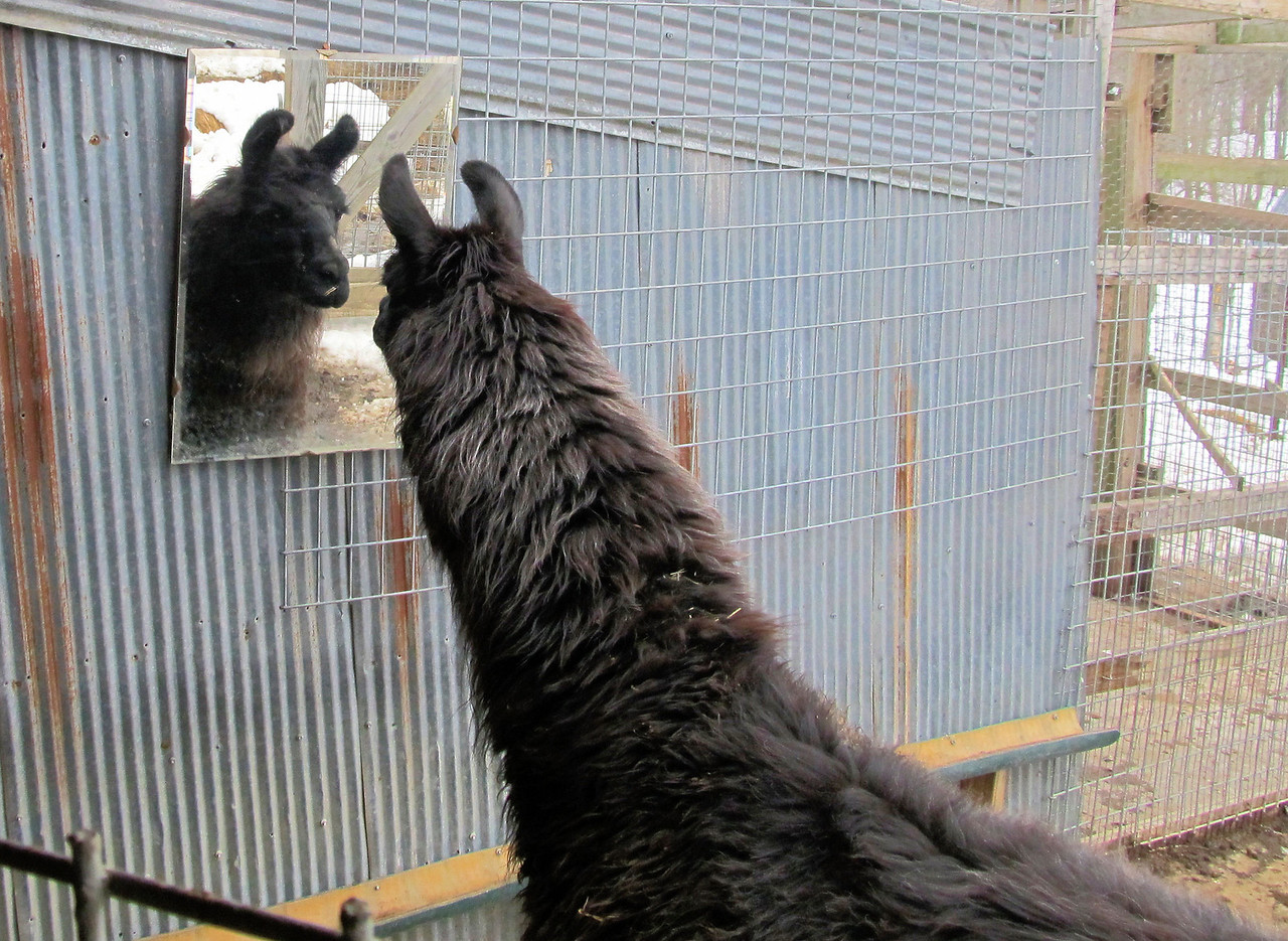"1 Dolly Llama, Meet Your ""Reflection""."