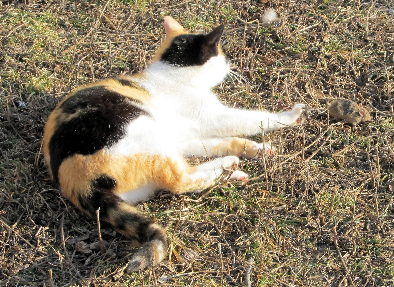 """1 Pretty Kitty Thinks that it is Great """"Sport"""" to Play With a Mouse, Before She Eats it.<br /> I use some live traps by the feed in the peacock and pigeon cages to catch mice, as the cats can't get into there. I then let them go into an empty barrel I have in the barn. The cats know to come running when they hear me slide it out. I had 3 from the pigeon cage, one had been killed by the other two so I gave that one to the cat first but she wanted the live ones she could hear in the barrel. In she went and got one to play with in the grass. I got 128 pictures of her rolling around with it and letting it run off a ways before pouncing on it again. When she began eating it I went back to the barn to clean up. She wasn't far behind me to get seconds. She played in the barrel the rest of the time I was in the barn. She thinks that is great """"sport"""" and it does help not to be overrun with mice."""