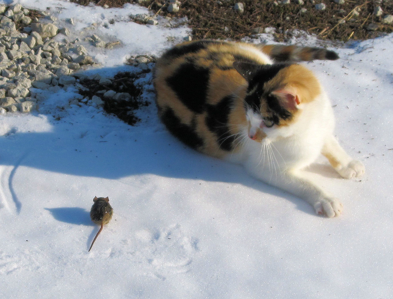 9 Playing in the Snow.<br /> The Pretty Kitty follows me around in the morning to see if I have caught her any mice in the traps that I have in different places. She is not often disappointed. When she gets a live one she really likes that as she takes it onto the drive in front of the house where she lets it go so she can catch it many times before she eats it.